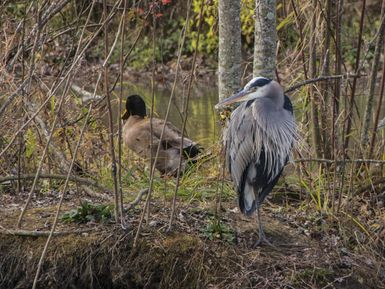 Great Blue Heron with domestic duck crossed with Mallard