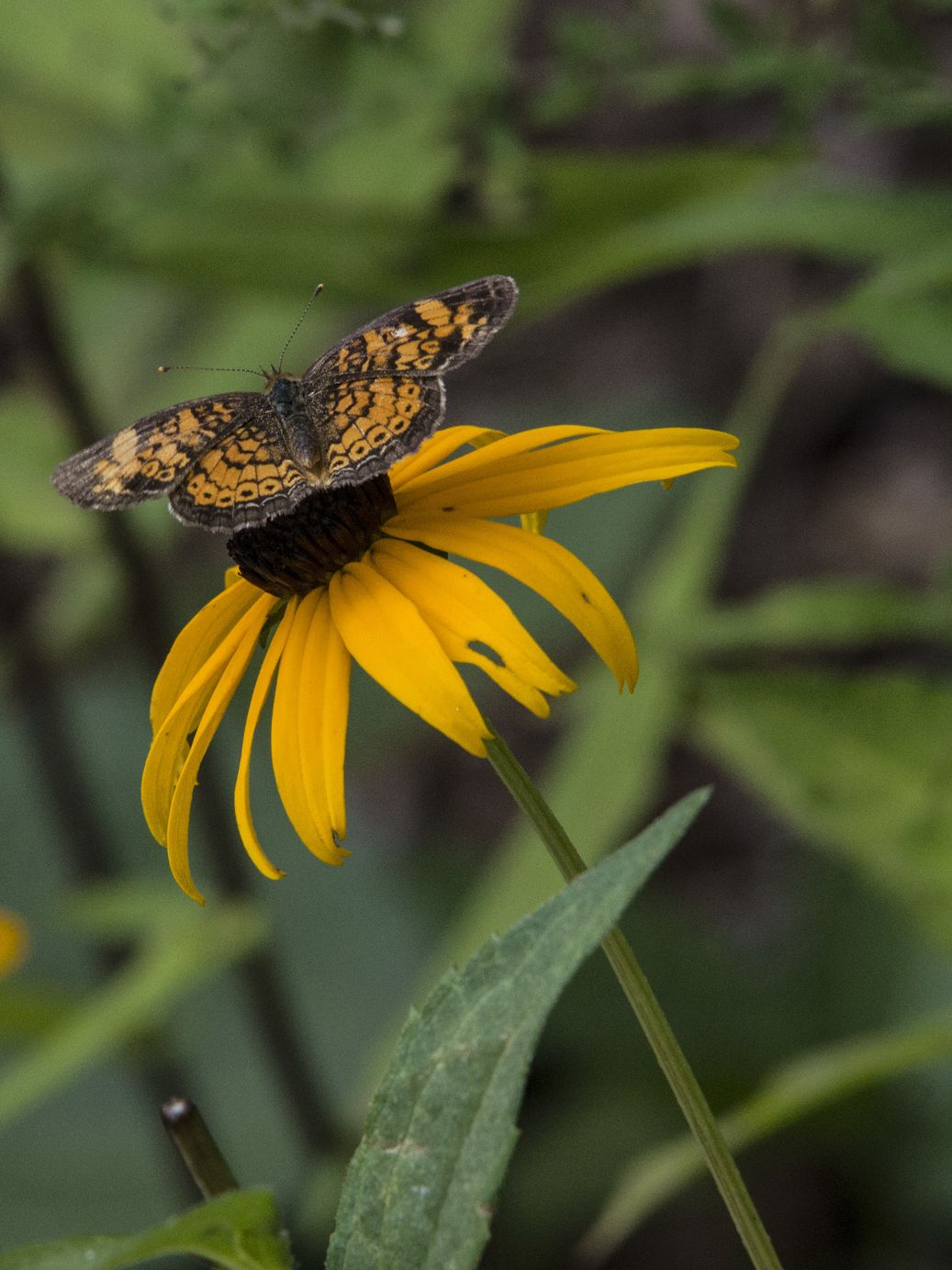 Varigated Fritillary Butterfly on Black Eyed Susan